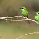Bee-eater  -  Green Bee-eater