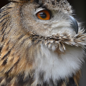 The Stare by Carla Maloco - Animals Birds ( bird, bird of prey, raptor, eagle owl, portrait,  )