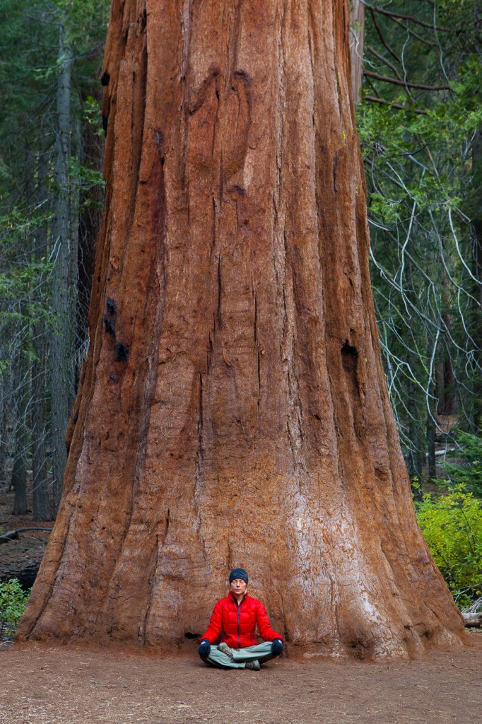 A Giant Sequoia Tree in the Mariposa Grove with my wife standing in for a sense of scale
