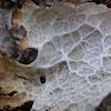 Ragged Lichen
