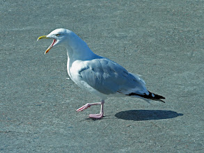 Photo: Hungry gull at Mallaig