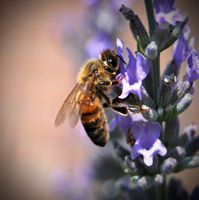 L'ape di merlino