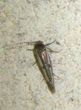 Photo: Kessleria egregiella  PGE  Lepidoptera > Yponomeutidae