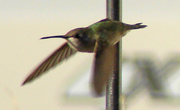 Photo: Costa's hummingbird at feeder in mobile home camp in Borrego Springs