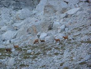Photo: Rebecos en el camino