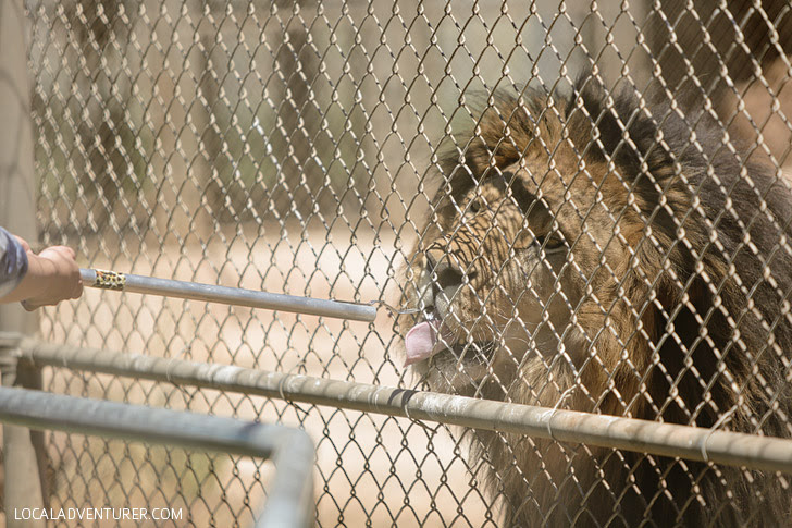 Lion Rescue at Lions Tigers & Bears.