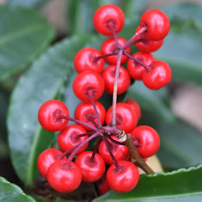 Australian holly by Matthew Robert - Nature Up Close Other plants ( red, berry, outdoors, plants, holly )