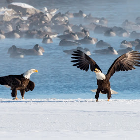 Spread my Wings by Rick Shick - Animals Birds ( bird, eagle )