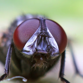 House Fly by Bhavya Joshi - Animals Insects & Spiders ( macro, fly, house fly, insects, eyes )