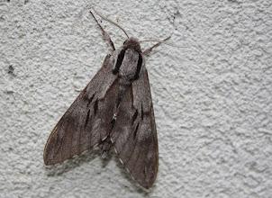 Photo: Sphinx maurorum  Lepidoptera > Sphingidae