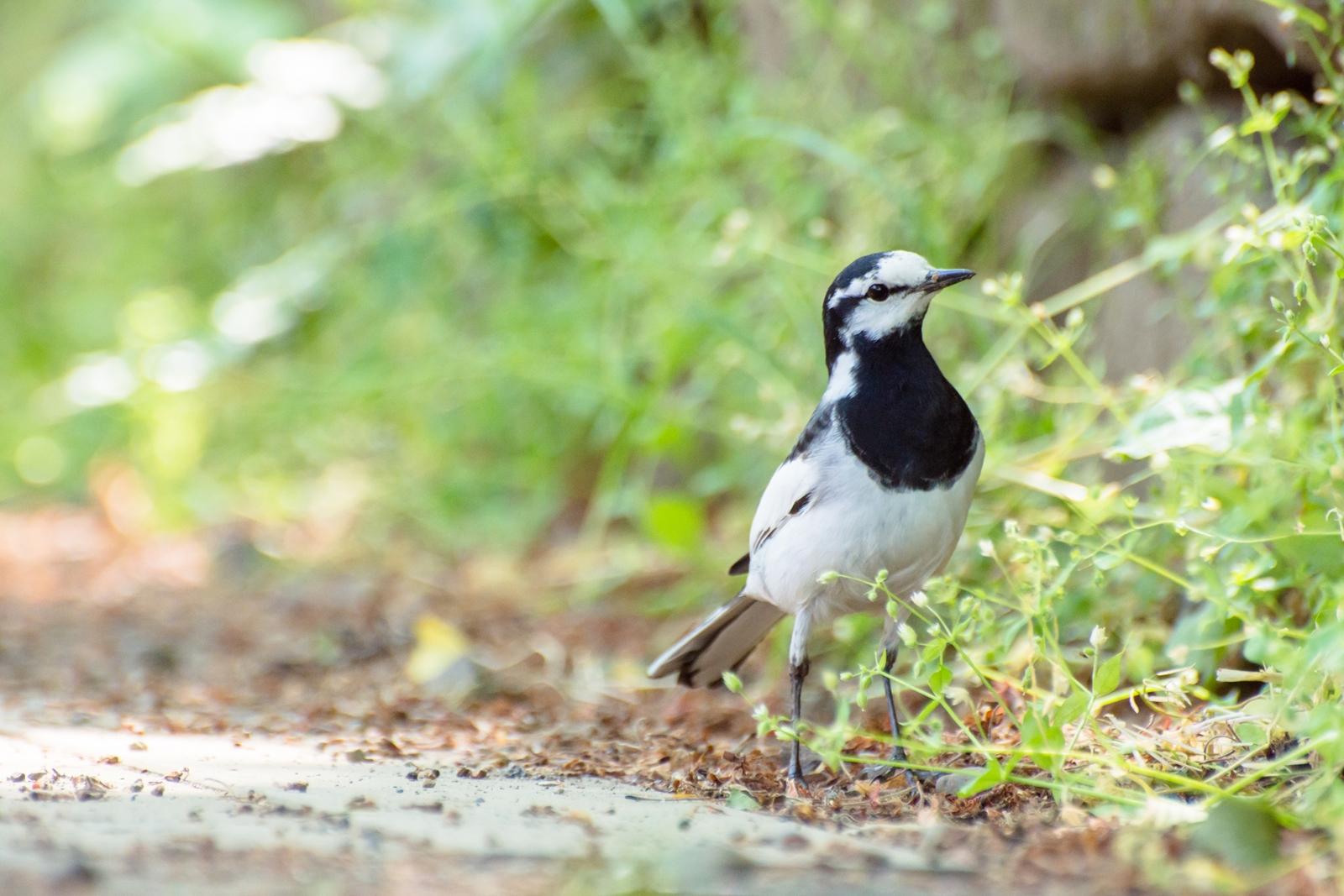 Photo: 草花との小さなお喋り Conversation with a young grasses.  あちらこちらから ぐんぐん伸びる草花たち どこからか聞こえてくる 小さなお喋り  White Wagtail. (ハクセキレイ)  #birdphotography #birds #cooljapan #nikon #kawaii  Nikon D7200 Nikon AF-S VR Zoom-Nikkor 70-300mm f/4.5-5.6G IF-ED
