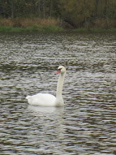 Photo: White swan in silver waters at Hills and Dales Metropark in Dayton, Ohio.