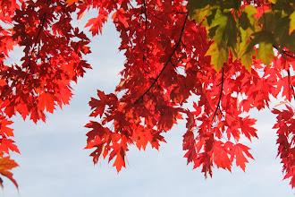 Photo: Excelsior Springs Scarlet Maple