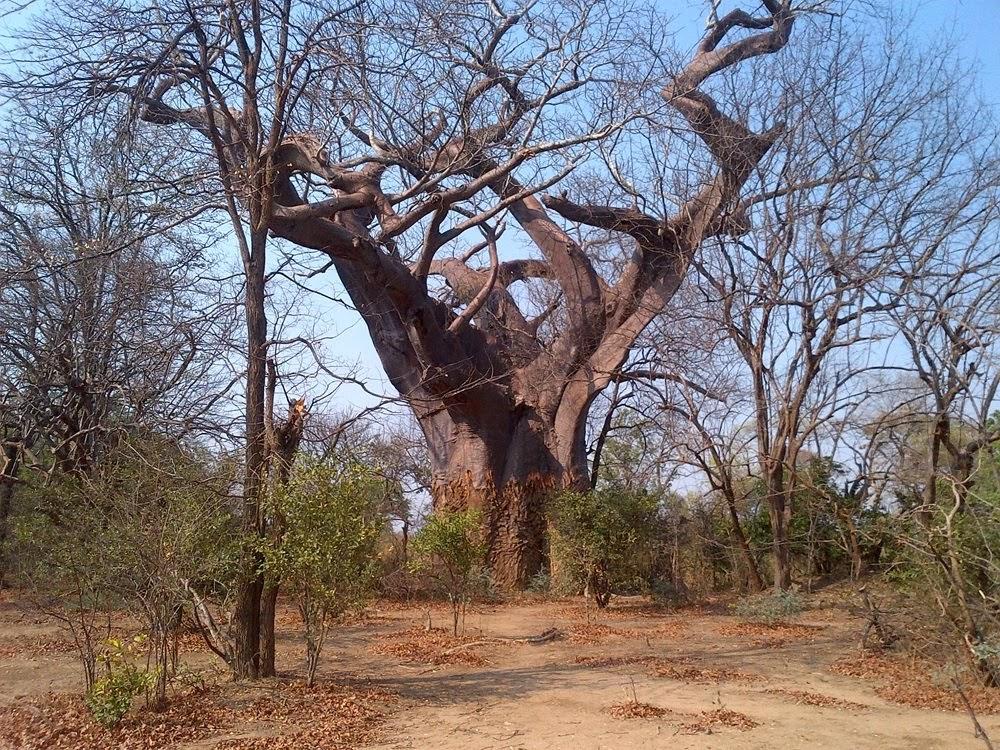 A árvore leprosa de Malawi