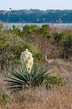 Photo: Yucca and deer