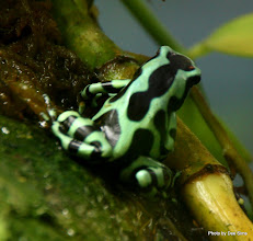 Photo: (Year 3) Day 23 - Green Poison Dart Frog from Costa Rica
