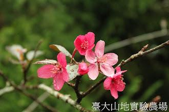 Photo: 拍攝地點: 梅峰-伴月坡 拍攝植物: 觀賞海棠 拍攝日期:2012_10_30_FY