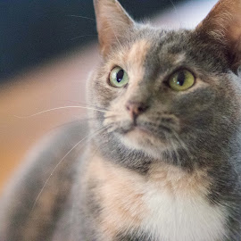 by Jill Zwick - Animals - Cats Portraits ( cats, cat eyes, pet, cat portrait, pets )