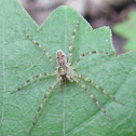 Juvenile Fishing Spider