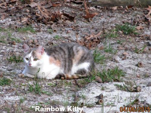 Feral, spayed farm cat - Rainbow