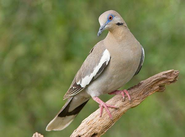 Texas Dove Recipe