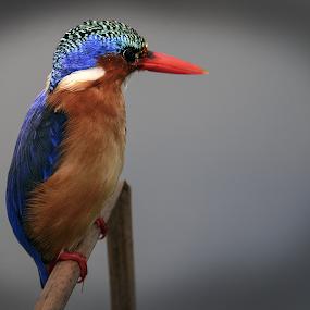 Malachite by Richard Wicht - Animals Birds ( malachite kingfisher, nature, nature up close, wildlife, nature close up, birds, bird photography,  )