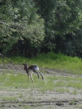 Photo: Это не кенгуру! Просто зайчик!