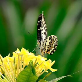 Butterfly by Jeffry Benny Anggara - Animals Insects & Spiders ( animals, nature, insect, landscape, people )