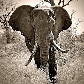 Tusker by Pieter J de Villiers - Black & White Animals