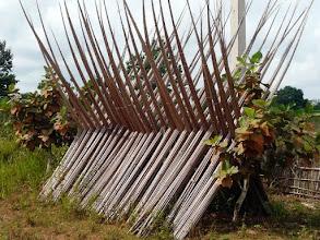 Photo: ces grands bambous servent à confectionner des plafonds