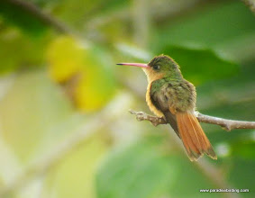 Photo: Cinnamon Hummingbird; Rancho Primavera, outside Tuito, Jalisco