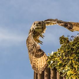 Lift off by Garry Chisholm - Animals Birds ( raptor, bird of prey, nature, eagle owl, garry chisholm )
