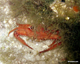 Photo: Ocellate Swimming Crab