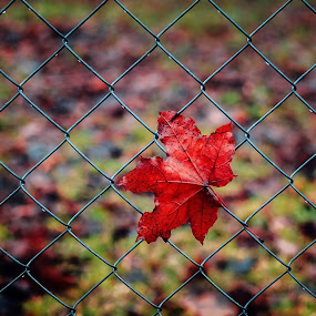Maple Leaf by Dmitriy Yanushevichus - Nature Up Close Leaves & Grasses ( fence, red, fall, street, leaf, maple leaf, close-up, maple, mesh )