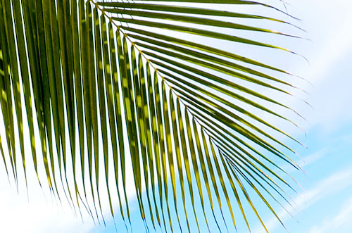 PALM LEAVES by Philip Familara - Nature Up Close Leaves & Grasses (  )