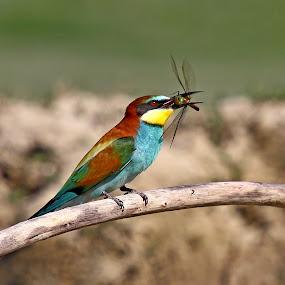 Merops apiaster by Simon Kovacic - Animals Birds ( european bee-eater, bird, meropidae, merops apiaster, merops, near passerine bird )