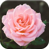 Free Flowers Jigsaw Puzzles