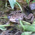 Caucasus Frog