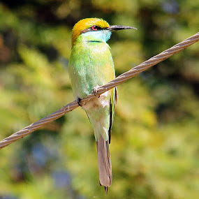 Green Bee-eater by Vijendra Parmar - Animals Birds ( green bee-eater, merops orientalis, merops, bee-eater )
