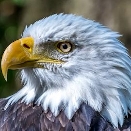 Bald Eagle Profile by Keith Sutherland - Animals Birds ( bald eagle )