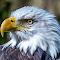 Bald Eagle 08 03 18.jpg