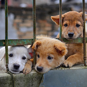 Puppies Neighbor's by Kriswanto Ginting's - Animals - Dogs Puppies ( puppies, dogs, dogs playing, puppy, dog, puppy portrait,  )