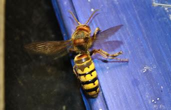 Photo: Vespa crabro  Hymenoptera > Vespidae
