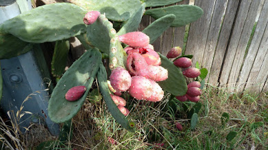 Photo: Prickly Pear Kaleen 2