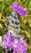 Photo: Melanargia russiae (la farfalla)