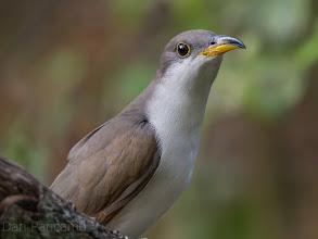 Photo: Yellow-billed cuckoo