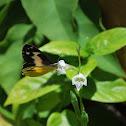 White Arab Butterfly