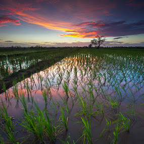 Ricefield sunset by Carlos David - Landscapes Prairies, Meadows & Fields