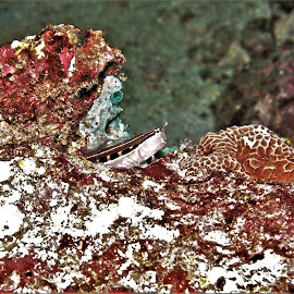 by Phil Bear - Animals Fish ( reef, blenny, coral, fish, coral reef, maldives )