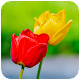 Download HD Tulip Wallpaper For PC Windows and Mac